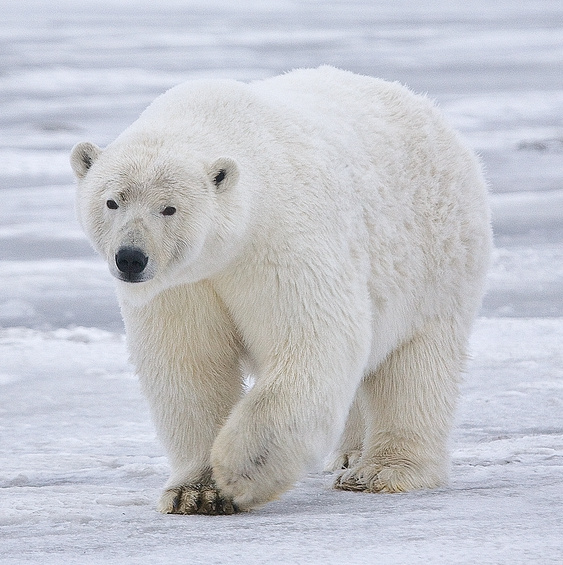 A moving polar bear. Source: https://commons.wikimedia.org/wiki/File:Polar_Bear_-_Alaska_%28cropped%29.jpg