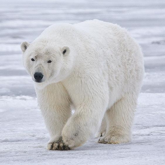 A moving polar bear. Source: https://commons.wikimedia.org/wiki/File:Polar_Bear_-_Alaska_%28cropped%29.jpg