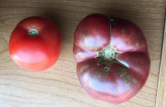 Modern tomato